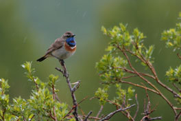 "Dit is de ""Bluethroat"""